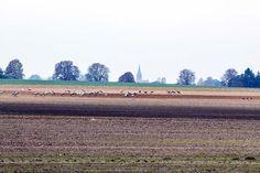 Kranichbeobachtungen auf den Feldern an der Müritz | Kraniche auf den Feldern bei Röbel (c) Frank Koebsch (2)