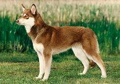Lapponian (Reindeer) Herder / Lapinporokoira Doggies, Pet Dogs, Dogs And Puppies, Pets, Spitz Breeds, Dog Breeds, Husky Pups, Real Dog, Herding Dogs