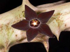 Orbea decaisneana [Family: Asclepiadaceae]