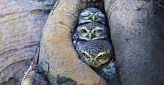 Adorable Owl Photos Captured By Thai Photographer Sasi | Bored Panda