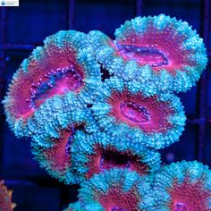 Baby Blue & Red Acan #2 - Acanthastrea