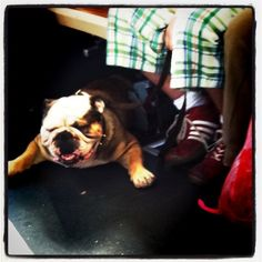 Photo by Here's a few of our other favorite four-legged public transit passengers: French bulldog Cat on Muni, no bigs Sleeping dog Mystery dog Every day is Catur… English Bulldogs, French Bulldog, Sleeping Dogs, Bullies, Four Legged, Pets, Animals, Animales, Animaux