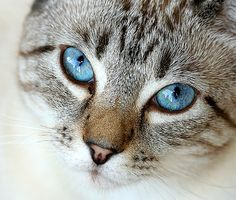 Lynx Point Siamese Eyes by Lynette S., via Flickr