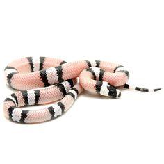 Black and White Honduran Milk Snake