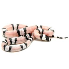 Black and White Honduran Milk Snake