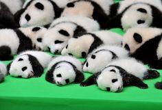 パンダになりたい。
