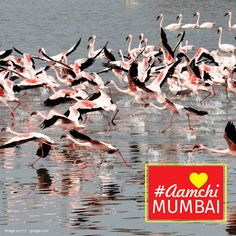 Mumbai's pink visitors visit this place from October to March every year. Guess this famous park in ‪#‎AamchiMumbai‬