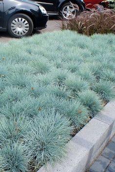 Festuca glauca Common blue fescue from North Creek Nurseries Modern Landscaping, Backyard Landscaping, Landscaping Ideas, Blue Fescue, Quick Garden, Potager Garden, Modern Garden Design, Ornamental Grasses, Garden Inspiration