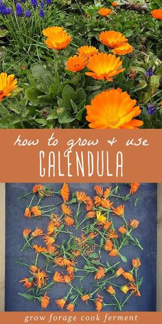 How to Grow and Use Calendula How to Grow and Use Calendula,Garden. Calendula is a plant that everyone should have in their yard, for multiple reasons. Calendula is a versatile plant with many herbal,. Healing Herbs, Medicinal Plants, Herbal Plants, Calendula, Gardening For Beginners, Gardening Tips, Kitchen Gardening, Gardening Services, Hydroponic Gardening