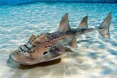 The bowmouth guitarfish (Rhina ancylostoma), also called the shark ray or mud skate, is a species of ray and the sole member of the family Rhinidae. A rare fish, it is vulnerable to extinction. Underwater Creatures, Underwater Life, Ocean Creatures, Orcas, Rare Fish, Exotic Fish, Sea Cow, Water Animals, Mundo Animal