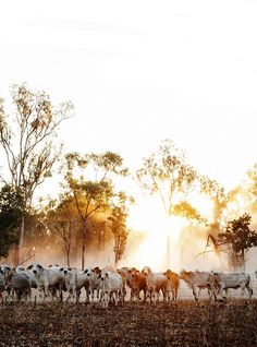 Road Trip - Cows - The Northern Territory - Australia Photographed by Kara Rosenlund