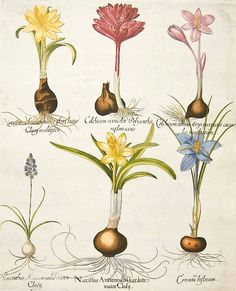 Basilius Besler Crocus, Hyacinth, & Narcissus | vintage botanical print.