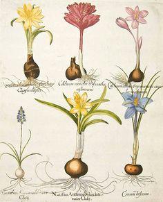Basilius Besler Crocus, Hyacinth, & Narcissus   vintage botanical print.