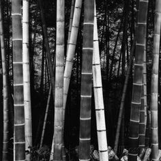 Bamboo Forest Photographic Print by Brett Weston at AllPosters.com