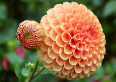 Peach coral coral orange Dahlia