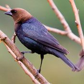 Brown Headed Cowbird - Male