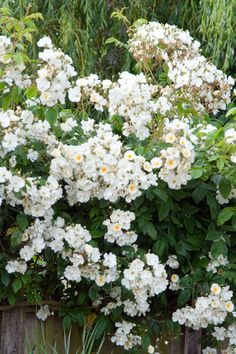 [rose 'Wedding Day' (rambler) - Monty Don says this is good for poor soil, shady areas, and climbing up into a tree - plant a metre away from the trunk, and use a cane to lead it up to the tree]