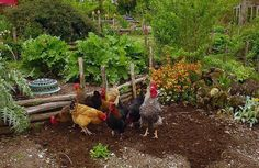 Bio-dynamic, French Intensive in Organic Gardening: chickens make great garden companions, eating pests & creating rich manure