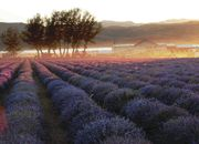 Young Living farm at Whispering Springs Farm in Mona, Utah, USA    Extending nearly 1,600 acres, the Whispering Springs Farm is home to the largest privately owned essential oil distillery in the world. Many different plants are harvested here for both our world market and for research.