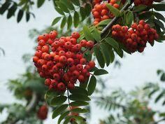 Tieto rastliny budú chrániť vás a váš dom pred zlým okom: rastlinné amulety z poškodenia