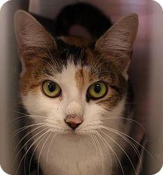 Westampton, NJ - Domestic Shorthair. Meet Narcissa 33035762, a cat for adoption. http://www.adoptapet.com/pet/16974834-westampton-new-jersey-cat