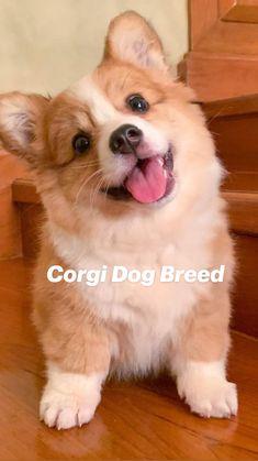 Corgi Dog Breed