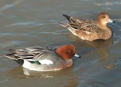 Widgeon - European Widgeon EW920.  Male and female different; Male with chestnut head with beige crown, pink breast and gray sides, bill gray; female is brown above and white below, high rounded head and gray bill (Ducks of the World)