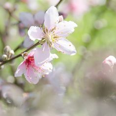 Peach Blossoms 6 #wallart #artsale #discount #artcollector #uniquegifts #homedecor #interiordesign   #easter #fineart #mothersday #sale #onlineshopping #trendy #art #andreaanderegg #inspirational #bibleverse #poem #quotes #fineartprints #glitter #floral