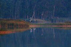 Ein Abend mit den Kranichen im Müritz-Nationalpark | Kraniche landen auf den Schläfplätzen des Rederang See im Müritz-Nationalparks © Frank Koebsch (3) #Kraniche #Aquarelle #Ausstellung #watercolor #crane