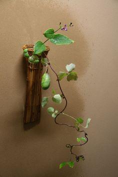 杜鵑 木通 鉈籠