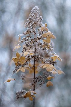 Hydrangea in winter by Jacky Parker Nature Landscape, Ivy House, Autumn Day, Late Autumn, Winter Garden, Four Seasons, Blue Brown, Shades Of Blue, Frost