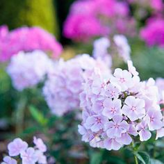 Phlox        One of the most brilliant plants of the late-summer garden, phlox produces stunning clusters of white, pink, lavender, and red blooms that bear a delightful fragrance.        Name: Phlox paniculata        Growing conditions: Full sun and well-drained soil        Height: To 4 feet, depending on variety        Zones: 3-8        More on Growing Phlox