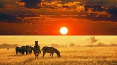 """An African safari will take you to Kenya, or to Africa""""s Big Five. Kenya is a place to visit if you got good commonsense and an interest in adventure. Kenya is filled with wild beasts, Most Beautiful Animals, Beautiful Creatures, Zebras, Cool Photos, Beautiful Pictures, African Sunset, Sunset Landscape, Out Of Africa, Tier Fotos"""