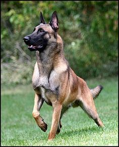 Look at this gorgeous, stout, strong Belgian Malinois!!