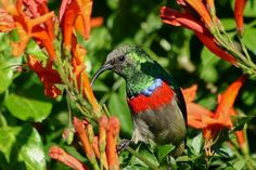 Sunbird feeding on wild honeysuckle flowers at Sibuya Game Reserve in the Eastern Cape South Africa