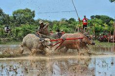 Buffalo race, Sumbawa - #Indonesia
