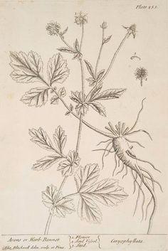 Avens or herb-bennet.  [Caryophyllata.] (1739)