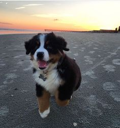 This Bernese Mountain dog is loving the beach! #puppy #cute #sunset