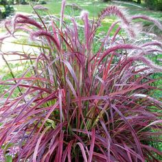Buy Chinese fountain grass Pennisetum × advena Fireworks (PBR) - Excellent container plant: pot: Delivery by Crocus Red Fountain Grass, Pennisetum Setaceum, Best Air Purifying Plants, Seaside Garden, Gothic Garden, Border Plants, Growing Seeds, Plant Sale, Garden Care