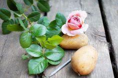 Une Plante De Rose D'une Branche, pomme de terre