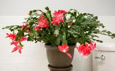Propagate a Christmas Cactus by cutting off sections of the stem. Each section must consist of two or three joined segments. Allow each section to dry for a few hours before pushing them into a Succulent Bonsai, Cacti And Succulents, Planting Succulents, Planting Flowers, Christmas Cactus Plant, Easter Cactus, Cactus Leaves, Cactus Flower, Cactus Cactus