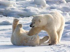 I tickle your tummy - Polar Bears by Judi Pennoch - Pixdaus