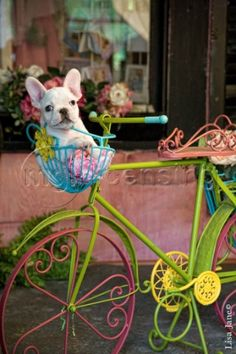 French bulldog in bike basket♥♥♥