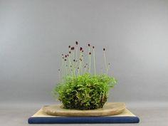 癒しの盆栽(草物盆栽) - 草物盆栽(根洗い)