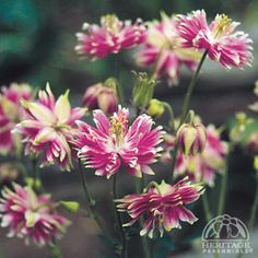 Columbine Aquilegia vulgaris 'Nora Barlow': spring to summer, self seeds and 3' height
