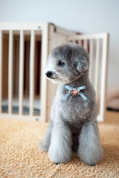 #toypoodle #silverpoodle #haircut a round small face + bootcut legs♡