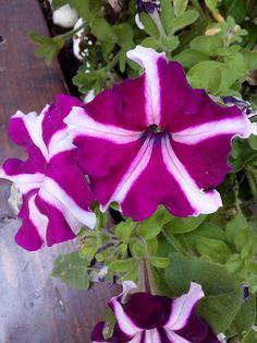 Day 98 #ΑνώνυμοςΒικιπαιδιστής #wikipedia #wikicommons #ΣχολείοΒικιπαίδειας #Βικιπαίδεια #100wikicommonsdays Πετούνια Plants, Blog, Planters, Plant, Planting