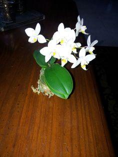 Zelf weer een mini orchidee in bloei gekregen www.westlandplantenshop.nl