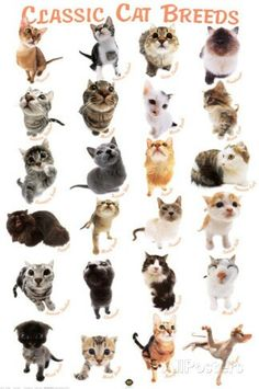 List of Cat Breeds Longhair and semi-longhair : * Aegean crat * American Longhair * Asian Semi-longhair (or Tiffanie) * Balinese * Birma. Cat Breeds With Pictures, Types Of Cats Breeds, Different Types Of Cats, Cat Species, Poster Art, Owning A Cat, Vintage Poster, Cat Posters, Beautiful Cats