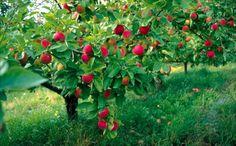 Lohjan matkailu omenapuut #Lohja #Finland